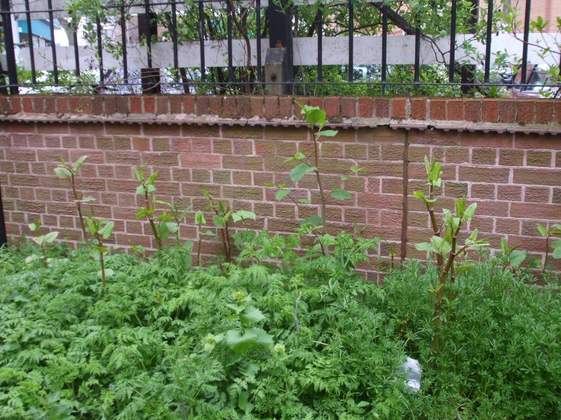 Offering Treatment of Japanese Knotweed
